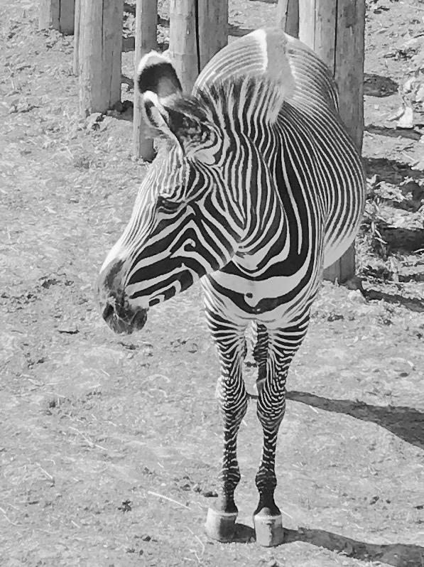 inspiration animal zebre de face